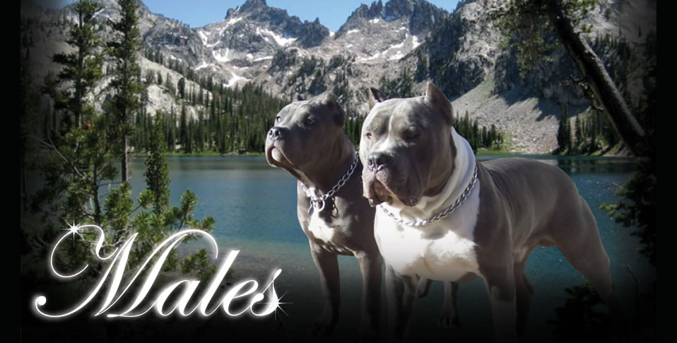 Sawtooth Pitbull Farm-Breeds and sells pit bulls